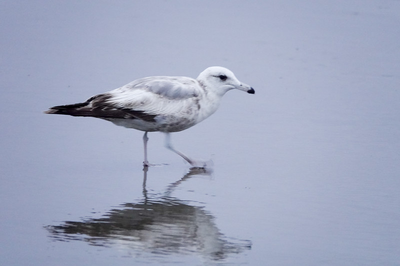 A morning Cannon Beach bird on the prowl.