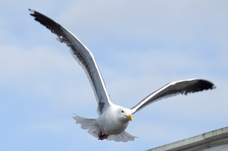A Cannon Beach seagull looking for something to eat.