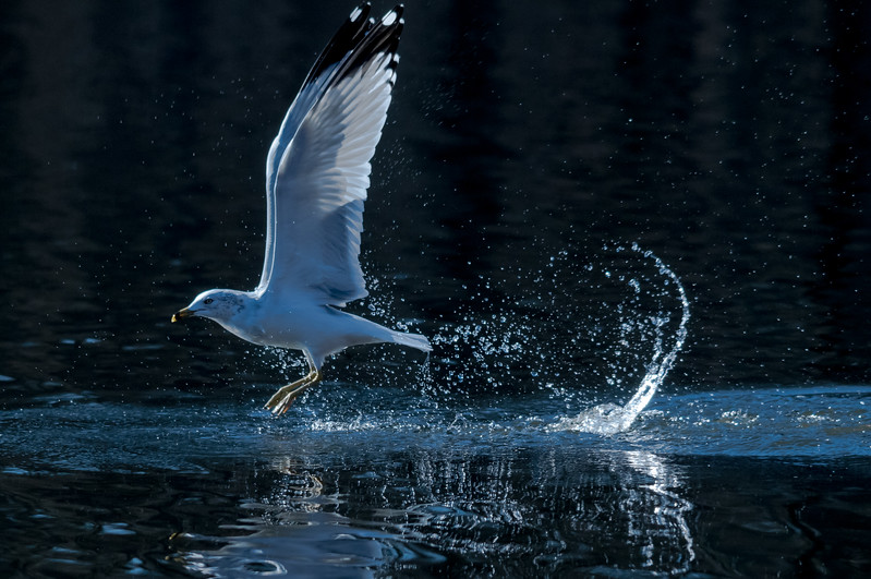 Gull After Fishing