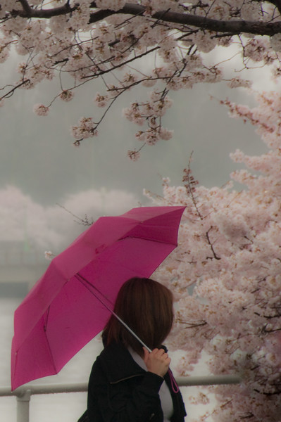 Lady with Umbrella Viewing Cherry Blossoms