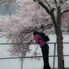 Lady Leaning Viewing Cherry Blossoms