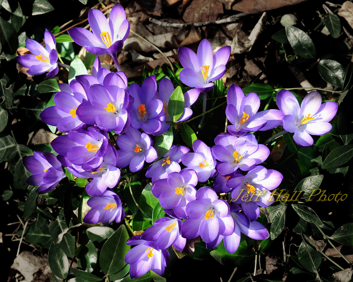 Our first crocuses of the year, March 2010