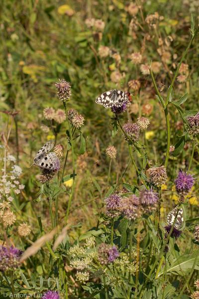 Schmetterlingswiese in Jeizinen