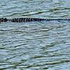 Alligator at Jekyll Wharf 06-10-20
