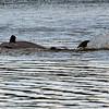 Jekyll Island Boat Tours  Dolphin Z31 Mudding 08-06-18