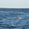 Jekyll Island Boat Tours Dolphin Daze Dolphin 7:00PM 06-18-20