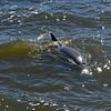 Jekyll Island Boat Tours - Dolphin - 04-21-19
