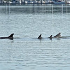 Jekyll Island Boat Tours - Dolphin - 04-25-19