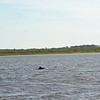 Jekyll Island Boat Tours - Dolphin - 04-28-19