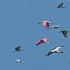 Roseate Spoonbill, Woodstork, Ibis 06-12-18