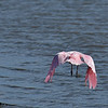 Dolphin Tour - Jekyll Island Boat Tours Roseate Spoonbill 06-16-18