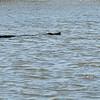 Jekyll Island Boat Tours - Alligator in Umbrella Creek 05-25-19