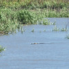 Alligator in Umbrella Creek 04-24-18