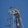 Jekyll Island Boat Tours - American Bald Eagle 03-19-21