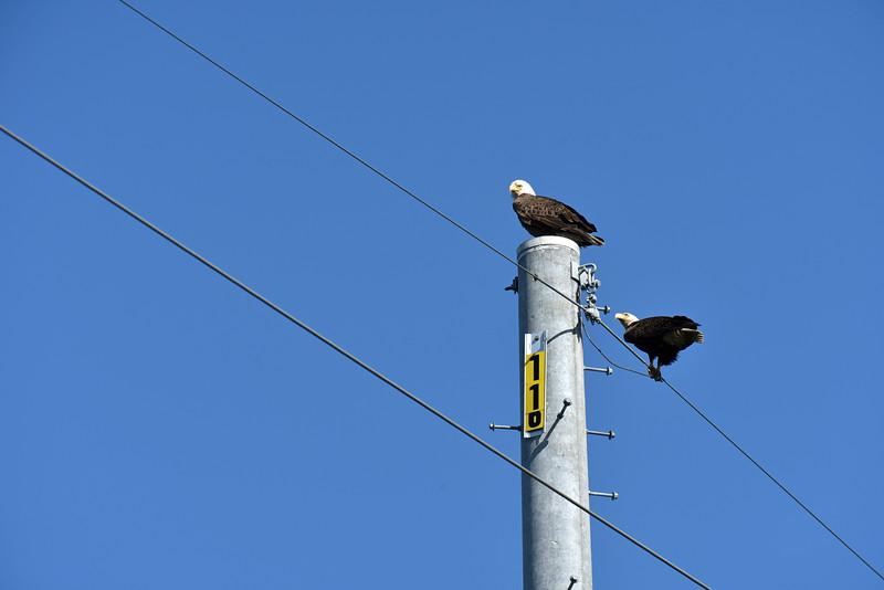 Jekyll Island Boat Tours - American Bald Eagle 03-22-21