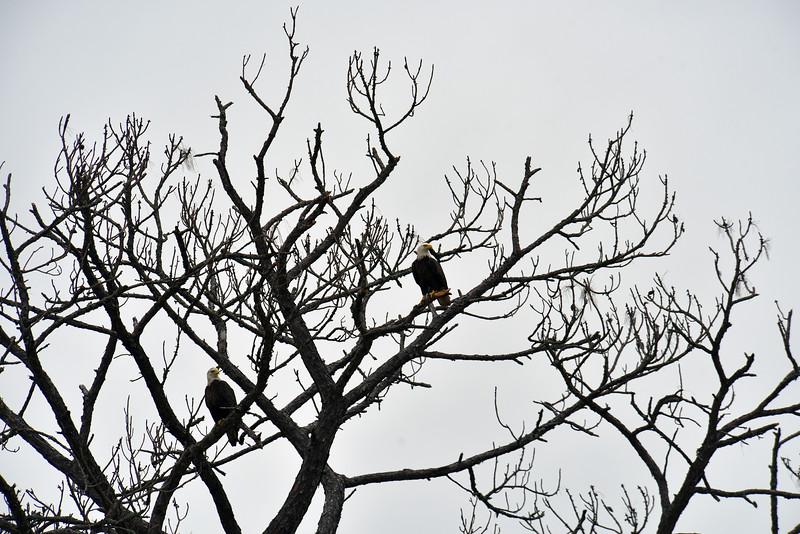 Eagles on Jekyll Island 11-14-18