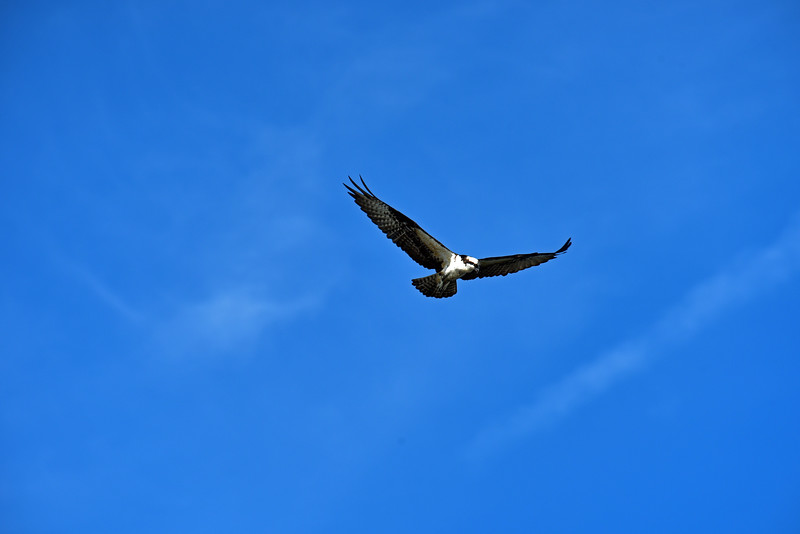 Osprey over Jekyll 11-13-18