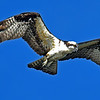 Osprey over Jekyll 11-13-18