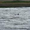 Jekyll Island Boat Tours - Dolphin - 04-14-19