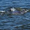 Jekyll Island Boat Tours Dolphin  05-20-19
