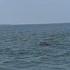 Dolphin-f4576-O