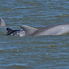Dolphin Tour - Jekyll Island Boat Tours Baby Dolphin 04-11-18