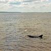 Jekyll Island Boat Tours Dolphin Daze Dolphin 06-17-20