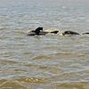 Jekyll Island Boat Tours Dolphin Daze Dolphin 07-16-20