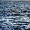 Jekyll Island Boat Tours Dolphin Daze Dolphin 07-21-20