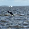 Jekyll Island Boat Tours Dolphin Daze Dolphin 07-25-20