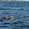 Jekyll Island Boat Tours Dolphin Daze Dolphin  09-03-20