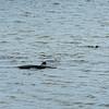 Jekyll Island Boat Tours Dolphin Daze Manatee  08-21-20