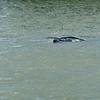 Manatee in Jekyll Creek at Jekyll Island 07-27-19