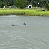 Manatee in Jekyll Creek at Jekyll Island 07-27-19