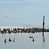 Jekyll Island Boat Tours - Pelicans at the Mary Ann 10-18-19