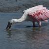Jekyll Island Boat Tours Roseate Spoonbill 06-13-18