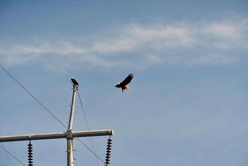 Jekyll Island Boat Tours - American Bald Eagle 11-29-18