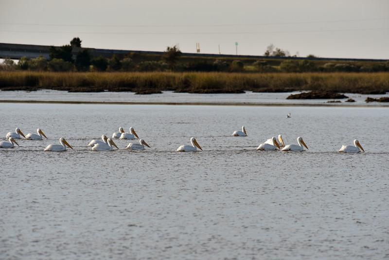 Jekyll Island Boat Tours - White Pelican 11-29-18