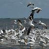 Jekyll Island Boat Tours  White Pelicans at Bird Island 08-14-18