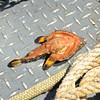 Jekyll Island ECO Boat Tours - Bat Fish 04-18-18