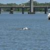 Jekyll Island Boat Tours - Dolphin - 04-30-19