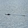 Jekyll Wharf - Alligator 07-24-20
