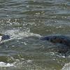 Manatee at Jekyll Wharf on Jekyll Island 06-25-19
