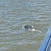 Manatee at Jekyll Wharf on Jekyll Island 06-25-19