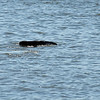 Manatee in Jekyll Creek at Jekyll Island 09-24-19