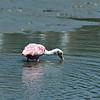 Roseate Spoonbill at Jekyll Wharf 06-18-20
