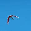 Jekyll Wharf Roseate Spoonbill 06-27-19