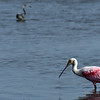 Roseate Spoonbill and Tri-Colored Heron Jekyll Wharf 05-25-19