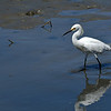 """Jekyll Wharf - Snowy Egret """"ROCKY"""" 07-19-20"""