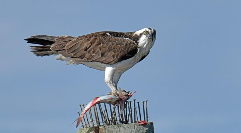 Osprey eating at Jekyll Wharf 01-31-19